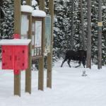 002-Moose-at-Trailhead-Tony-001